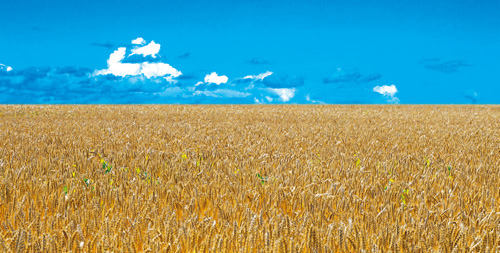 Weizen auf Feld
