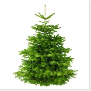 weihnachtsbaum-nordmanntanne