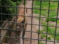 2020_05_17_Tierpark Perleberg_06_Luchs