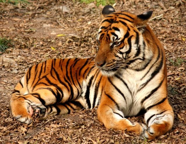 Tiger_Wikipedia